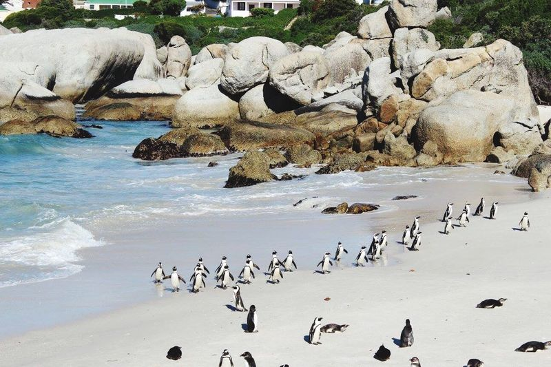 Penguins coming in from a swim at Boulder Beach in Simons Town South Africa