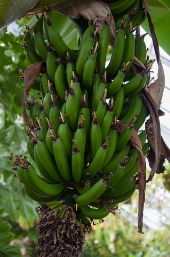Bunch of green bananas growing on a banana tree Green Bananas Banana Banana Tree Bunch Of Bananas Freshness Fruit Green Color Growth Unripe
