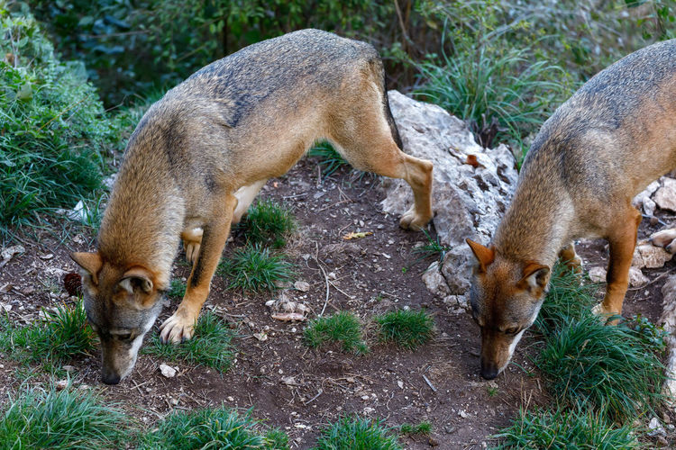 Two adult wolves sniff the ground for traces.