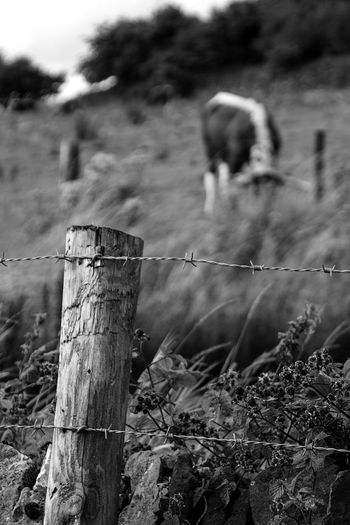 Cow White Wooden Post Animal Wildlife Barbed Wire Focus On Foreground No People Outdoors Mammal Day Animal Themes Nature Perching Animals In The Wild Grass Close-up Sky Tree