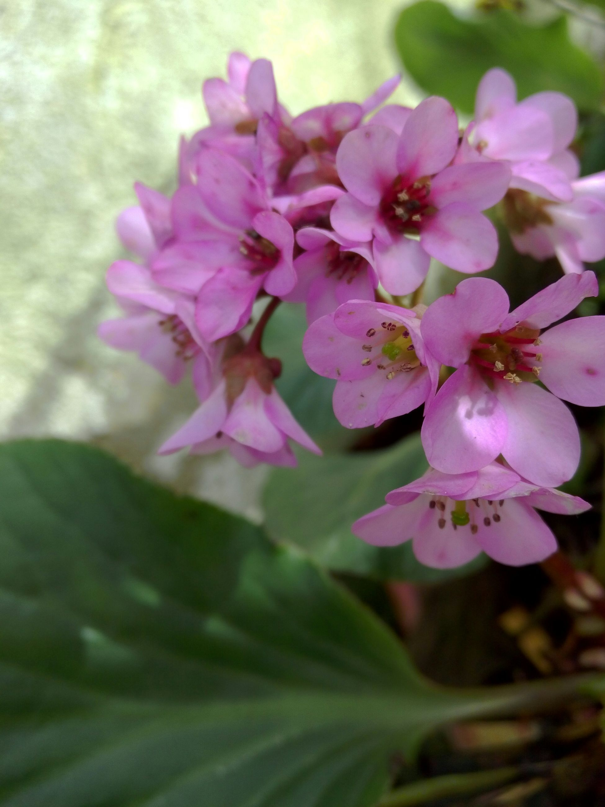 flower, freshness, petal, pink color, fragility, growth, beauty in nature, flower head, close-up, nature, blooming, focus on foreground, plant, pink, in bloom, leaf, blossom, day, outdoors, no people