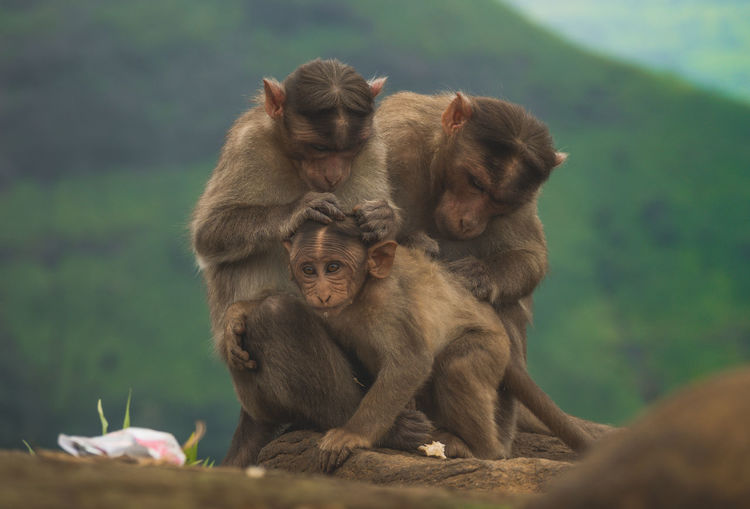 Animal Family Animal Themes Animal Wildlife Animals In The Wild Close-up Day Infant Japanese Macaque Mammal Monkey Nature Outdoors Sitting Togetherness Young Animal