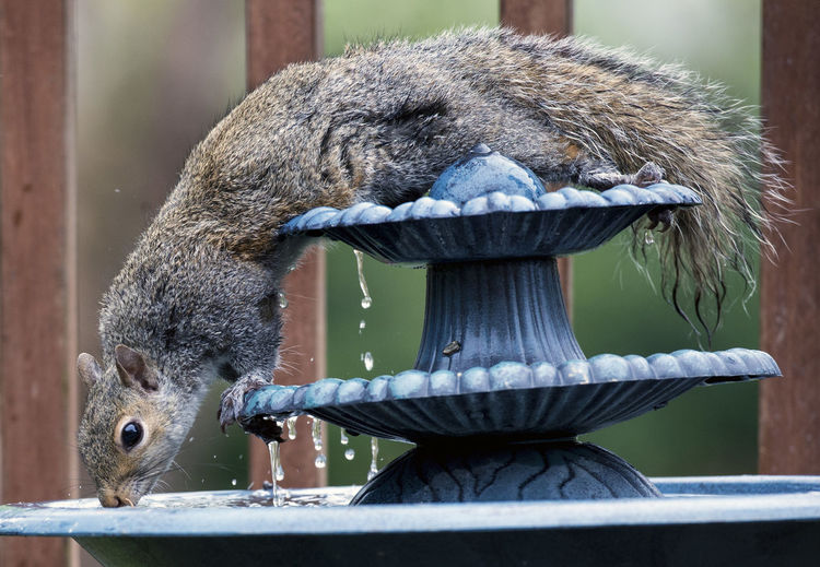 Leaning over Bird Bath Fountain Animal Animal On A Fountain Animal Themes Animal Wildlife Animals In The Wild Close-up Leaning Over The Edge Mammal Nature One Animal Rodent Squirrel Stretched Out