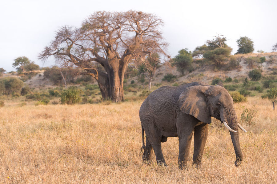 Game Drive Tanzania Tarangire African Elephant Animal Themes Animal Trunk Animal Wildlife Animals In The Wild Beauty In Nature Day Elephant Elephant Calf Grass Mammal Nation Nature No People One Animal Outdoors Safari Safari Animals Tree Tusk