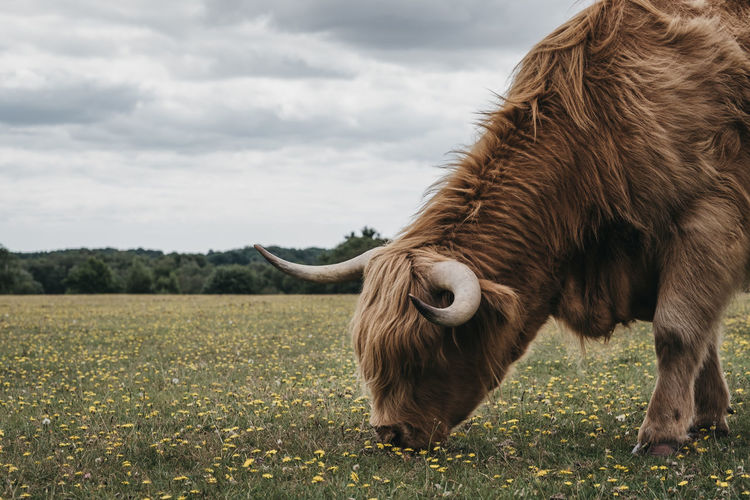 Close up of the highland cattle grazing in the new forest park in dorset,uk, in summer.