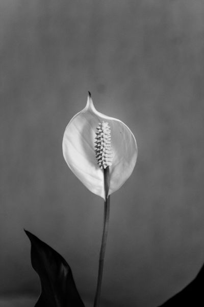 one flower Beauty In Nature Black Blackandwhite Close-up Flower Nature No People White
