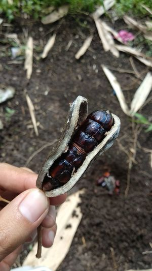 Buah Genuak Buah Genuak Petai Ulam Sayuran Sehat Human Hand Reptile Holding Human Finger Close-up