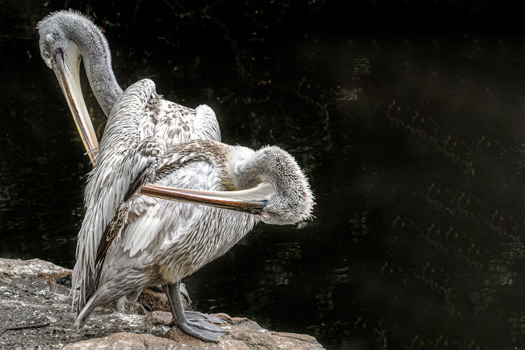 Close-up of pelican on rock by lake