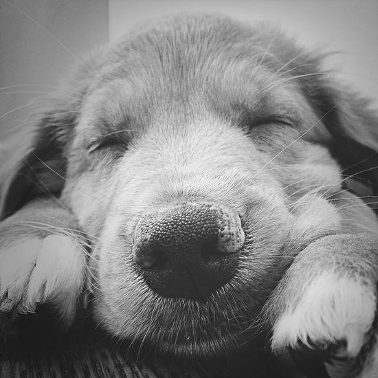 Hello World Sleepy Puppy Novascotiaducktollingretriever