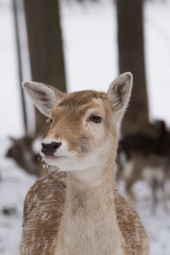 www.michaelwipperfuerth.de Deer Weather Winter Animal Animal Themes Animal Wildlife Animals In The Wild Close-up Cute Day Deers Focus On Foreground Forest Mammal Nature No People One Animal Outdoors Snow