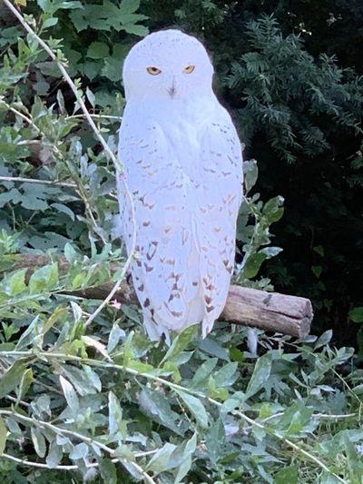 Snow owl Animal