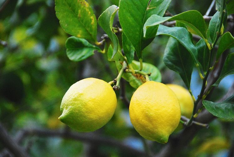 Fruit Healthy Eating Plant Food Food And Drink Growth Tree Leaf Close-up Freshness Plant Part Green Color Lemon No People Yellow Fruit Tree Nature Lemon Tree Citrus Fruit Day