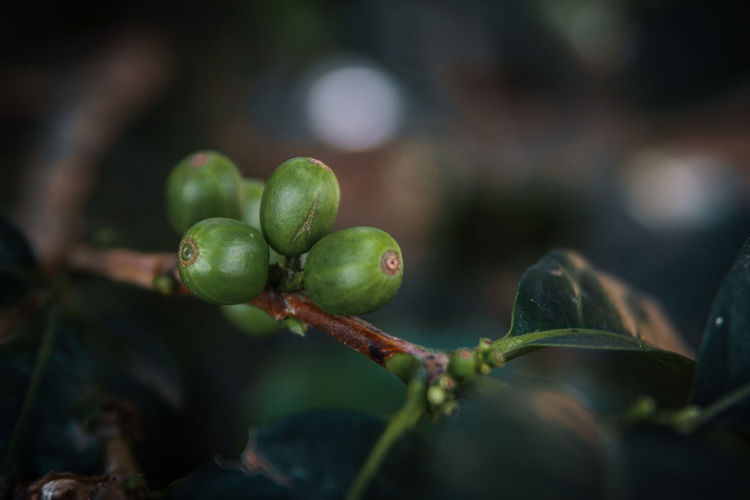 A green coffee bean on a its plant. Close-up No People Coffee Farm Detail Cafe Green Macro Plant Nature Wellbeing Ripe Green Color Fruit Food And Drink Focus On Foreground Healthy Eating Freshness Leaf Selective Focus Plant Part Outdoors Day Growth Bean Springtime Decadence