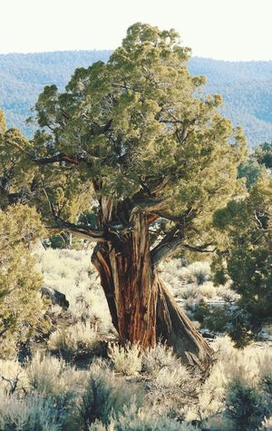 Nevada Pinion Pine Western Sky Mountain Mineral County Nevada, USA Pinion Pine No People Tree Day No People Nature Growth Tree Trunk Tranquility Landscape Outdoors Beauty In Nature