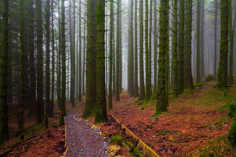 Path Forest Cringle Plantation Mist Forest Tree Land Plant WoodLand Beauty In Nature Tranquility Environment Scenics - Nature Non-urban Scene Tranquil Scene Nature Growth Autumn Landscape Trunk Tree Trunk No People Idyllic