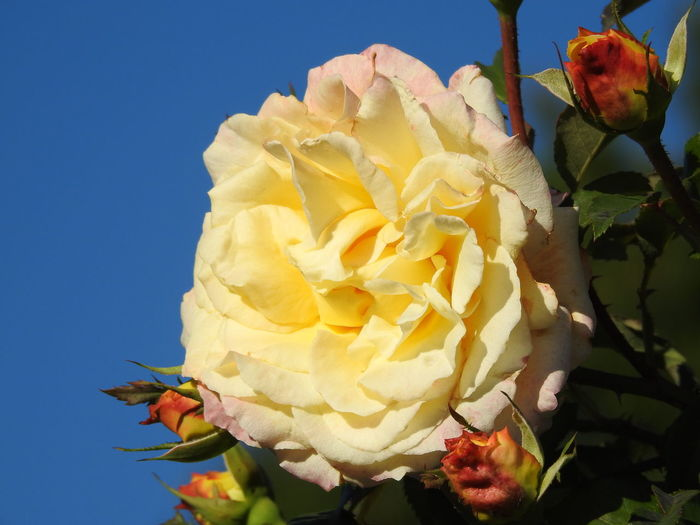 Close-up Rosé