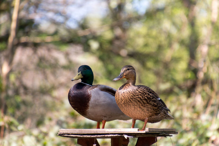 Table for two. Animal Themes Animal Wildlife Animals In The Wild Beauty In Nature Bird Bird Table Birds Close-up Day Duck Duck And Drake Focus On Foreground Nature No People Outdoors Perching Posing Sunlight Table For Two