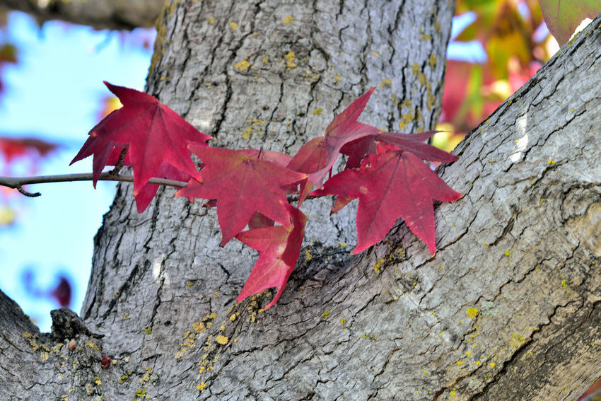 Leaves of Dry Creek 12 Leaves🌿 Leaves In A Tree Tree Trunks Sweet Gum Tree American Storax Liquidambar Styraciflua Altingiaceae Beauty Of Fall Leaves_collection Branches Leaves In Autumn Autumn🍁🍁🍁 Autumn Collection Plant Life Garden Photography Garden_collection Nature Beauty In Nature Nature_collection Horticulture Botanical Gardens Autumn Leaf🍁🍂 Autumn Colors🍃🌿 Changing Seasons Dry Creek Pioneer Regional Park