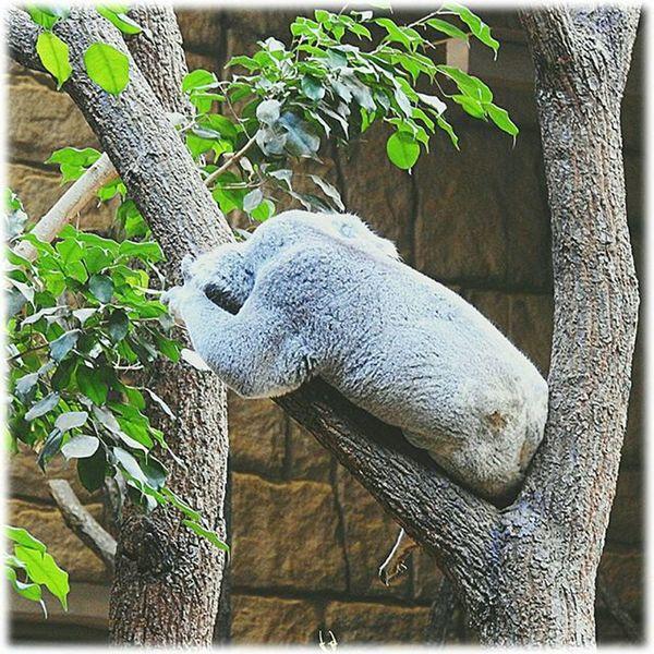 😪💤💤 昼食後は眠くなりますね🎶☺ It will be sleepy after lunch🎶☺ ※ ※ コアラ Koala 眠い Sleepy 後ろ姿 Backshot 動物 Animal 可愛い Cute 動物園 Zoo