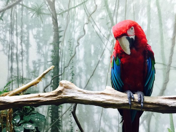 Close-up of scarlet macaw on branch