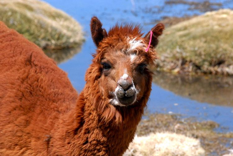 One Animal Mammal Animal Themes Livestock Domestic Animals Animal Hair Llama Day Alpaca Portrait Looking At Camera Outdoors No People Nature Close-up Chile