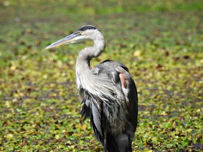 watch this beautiful bird catch and eat his fish lunch here. https://youtu.be/bmpIbgHXPWE Https://youtu.be/bmpIbgHXPWEBird Photography Birding Green Color Herons Nature Nature Photography Wildlife & Nature Wildlife Photography Amazing Wildlife Big Bird Bird Of Prey Bird Watching Birds_collection Feathered Friends Great Blue Heron Great Blue Heron In Water Heron Lilypads Nature_collection Ornithology  Predator Tall Bird Wildlife