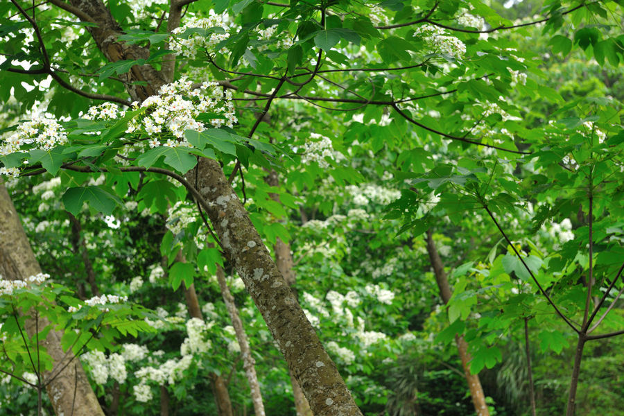 Forest landscape, quiet forest, fresh natural air. Beautiful Green Natural Beauty In Nature Branch Day Foliage Forest Fresh Freshness Green Color Growth Leaf Leisurely Nature No People Outdoors Peaceful Tree Tung Blossom White Flowers