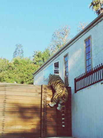West Hollywood Tiger Love