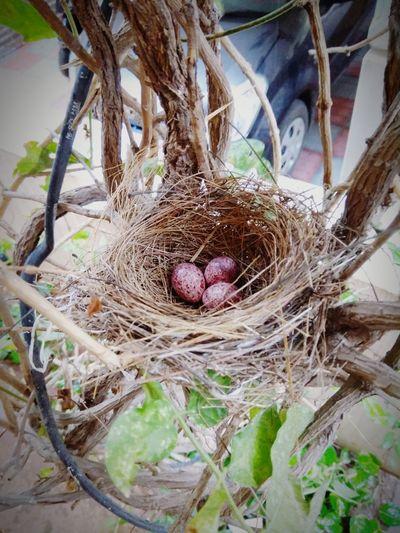 Birdeggs RedVentedBulbul Bulbul Nest Bulbul Eggs Tree Branch High Angle View New Life Close-up Bird Nest Twig Nest EyeEmNewHere #FREIHEITBERLIN