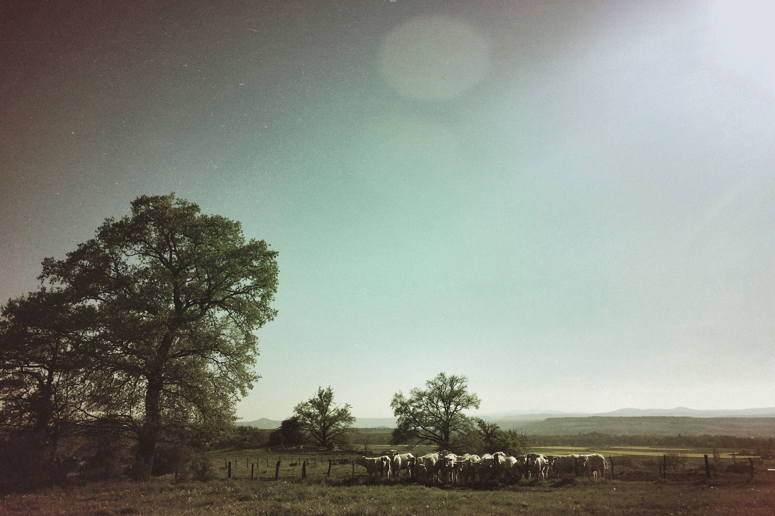 tree, field, landscape, tranquility, tranquil scene, rural scene, nature, clear sky, sky, growth, scenics, grass, beauty in nature, copy space, agriculture, non-urban scene, outdoors, day, remote, no people