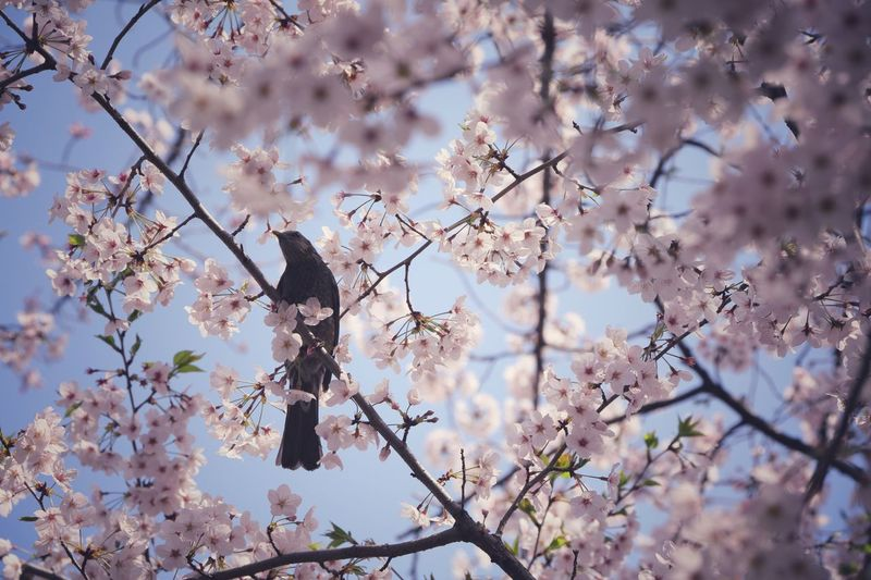 High Angle View Of Bird Perched On Cherry Blossom  Tree