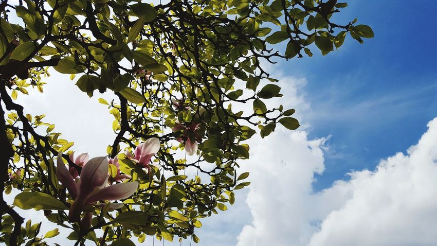 Tree Growth Nature Branch Beauty In Nature No People Sky Low Angle View Leaf Outdoors Day Freshness Flower Cloud - Sky Close-up