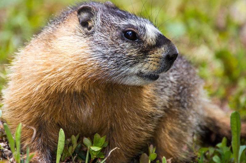 Colorado Animal Themes Animal Wildlife Animals In The Wild Close-up Day Focus On Foreground Grass Mammal Marmot Nature No People One Animal Outdoors Plant Raccoon