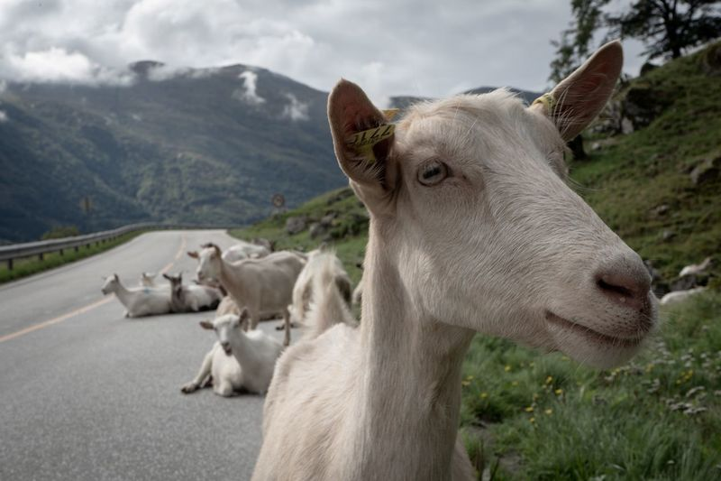 Goat Party Road Norway Goats EyeEm Animal Lover EyeEm Nature Lover EyeEmNewHere Goat Mammal Animal Themes Domestic Animals Animal Pets Domestic Livestock Group Of Animals Mountain Nature Close-up Cloud - Sky Day EyeEmNewHere