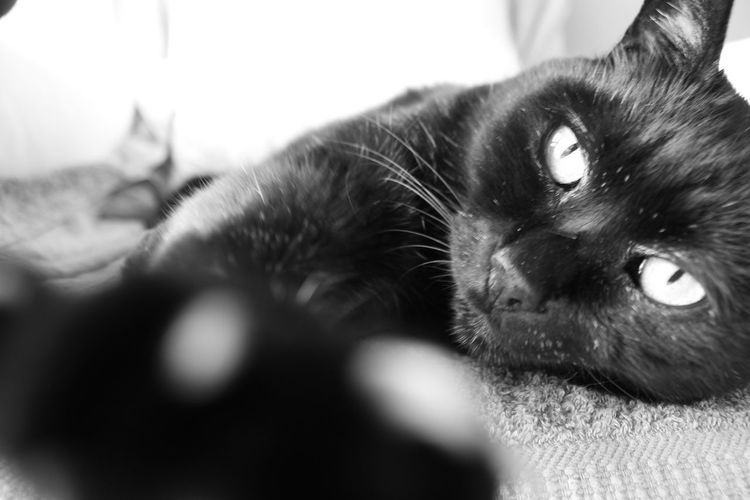 Black Cat Black & White Cat One Animal Pets Domestic Animals Animal Themes Mammal Domestic Cat Indoors  Day No People Close-up Feline
