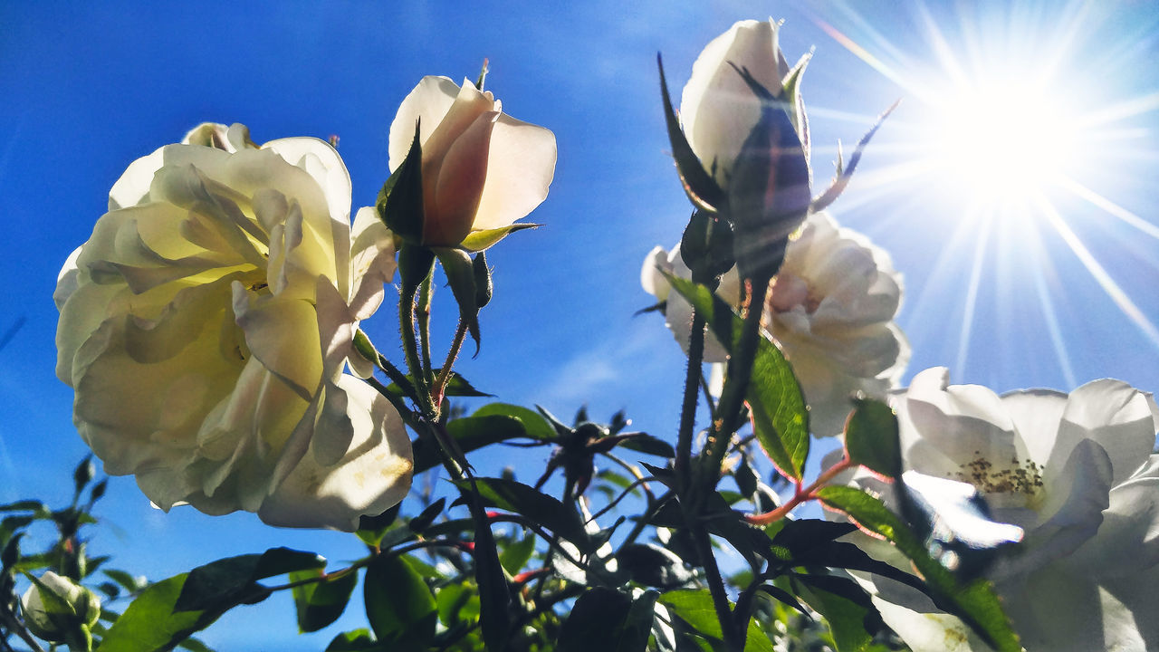 flower, nature, growth, fragility, petal, sunlight, beauty in nature, plant, white color, day, close-up, freshness, outdoors, flower head, no people, low angle view, leaf, blooming, sky