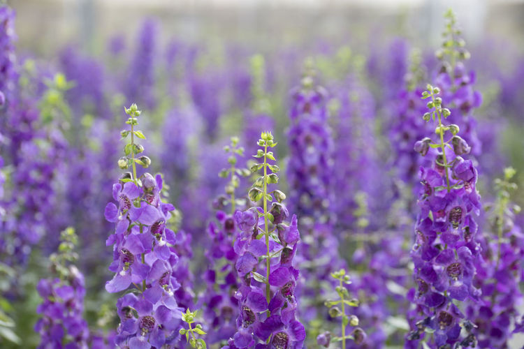 Flower Flowering Plant Purple Plant Growth Freshness Beauty In Nature Close-up Vulnerability  Fragility Lavender Nature Selective Focus No People Lavender Colored Petal Day Field Outdoors Botany Flower Head