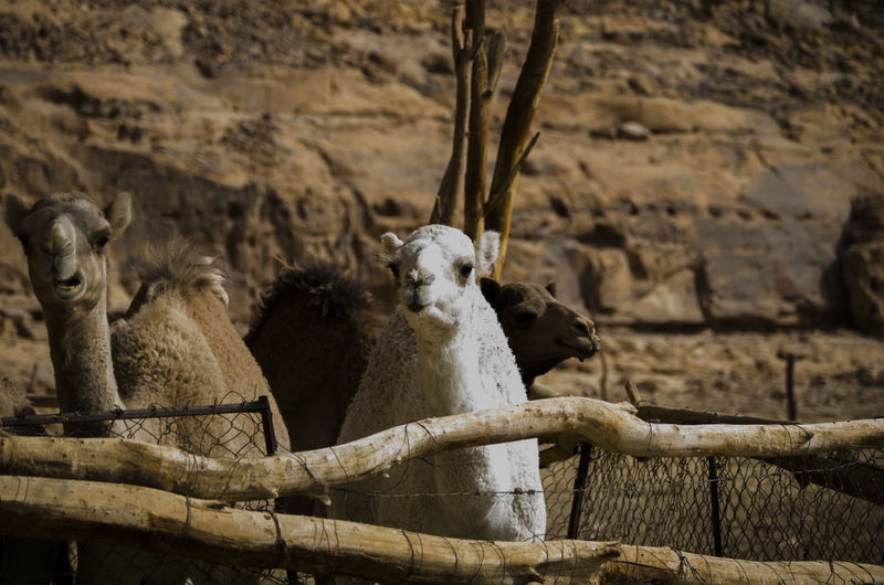 White Camel with Normal gray camel Animal Group Of Animals Animal Themes Vertebrate Mammal Animal Wildlife Animals In The Wild No People Nature Day Focus On Foreground Tree Wood - Material Outdoors Domestic Animals Zoo Boundary Livestock Plant Animals In Captivity Herbivorous Camels White