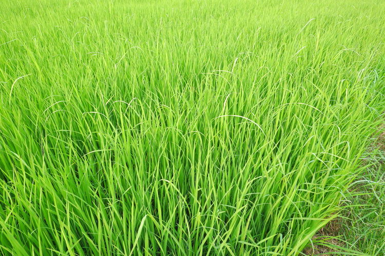 Full frame shot of corn field