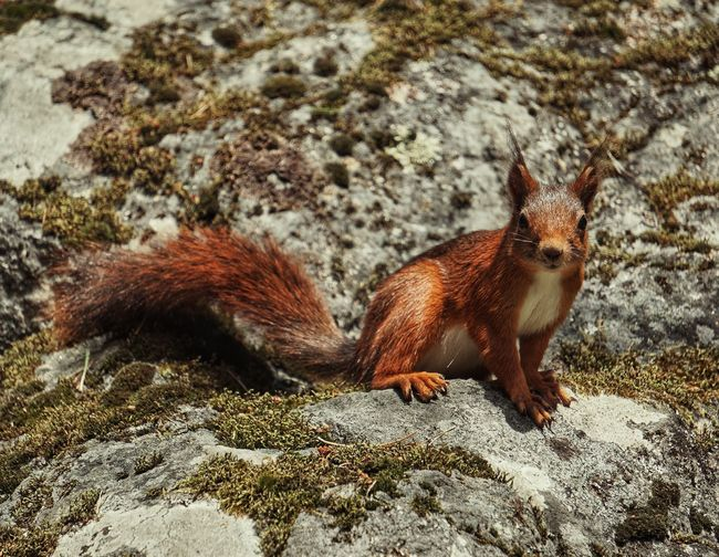 Red Squirrel 2019 Niklas Storm Juli Animal Themes Close-up Squirrel Wildlife Tail Wild Animal My Best Photo