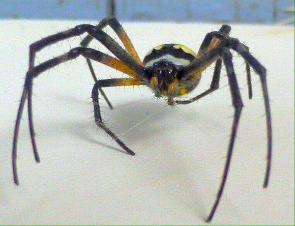 Argiope Writing Spider Nature Photography Arachnipocalypse Arachnid Arachni-therapy Macro Nature Spider Spider Series