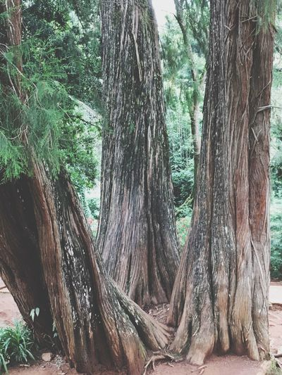 Togetherness amazing as 4 trees came up from one point.. Tree Nature Forest Tranquility Growth Day No People Beauty In Nature Outdoors Branch Tranquil Scene Life Is Beautiful EyeEm Gallery Treelife Together Forever Sharing Life Gardens And Parks