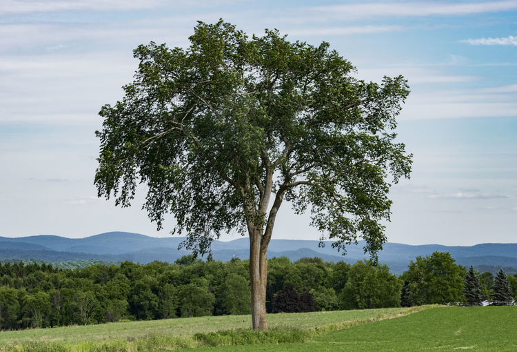 A beautiful surviving Elm Tree in New England. In the 1930's they were decimated by Dutch Elm disease spread by bark beetles. Tree Sky Landscape Cloud - Sky Nature Growth Outdoors No People Grass Field Scenics - Nature New England  Farm Counrtyside Country