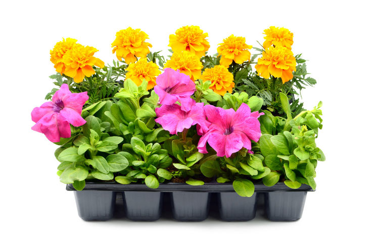Tagetes and