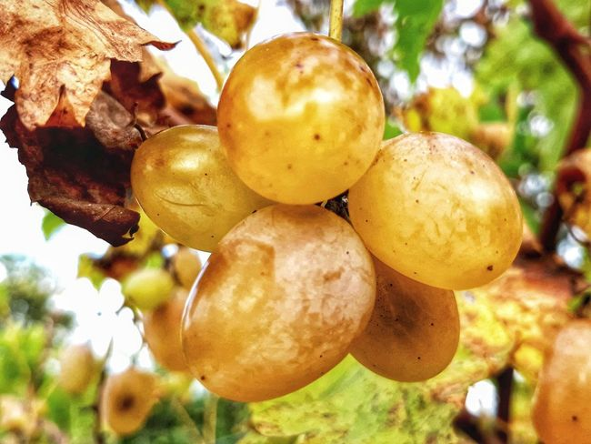 Plant Part Blossom Blossoms  Blooming Grape Grapes Grapes 🍇 Grapes Nature Photography Macro Macro Photography Macro Nature Nature Naturelovers Nature Photography Natural Beauties Uva Fruits Fruits Lover Eyem Eyem Gallery. EyEmNewHere Eyem Nature Lovers  Tree Fruit Agriculture Yellow Leaf Hanging Close-up Fruit Tree