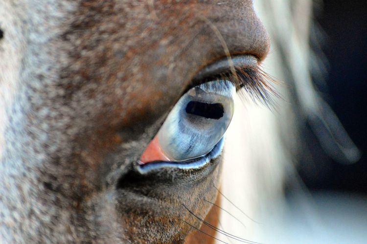 Close-up Part Of One Animal Selective Focus Animal Eye Extreme Close-up Eyesight Eyelash Animal Nikon Nikon D3200 Nikonphotography Equine Equine Photography Horse Animal Themes Blue Blueeye Eyeshot Painthorse Maximum Closeness