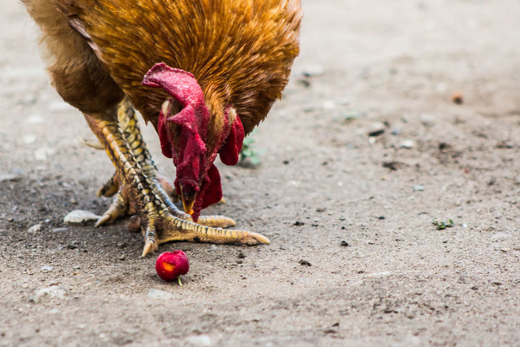 Agriculture Animal Animal Themes Bird Chicken - Bird Close-up Day Domestic Animals Hen Livestock Mammal Nature No People One Animal Outdoors Poultry