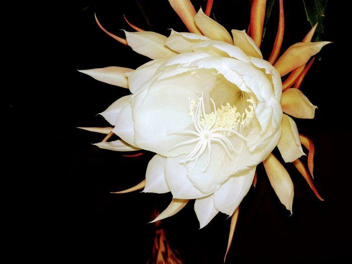 Saussurea obvallata flower Saussureaobvallata Brahmakamal Close-up Flower Black Background No People Fragility Flower Head Nature