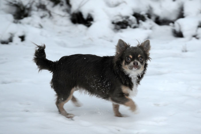 Norway Animal Animal Themes Canine Chichuahua Cold Temperature Covering Dog Domestic Domestic Animals Field Land Looking At Camera Mammal No People One Animal Pets Portrait Powder Snow Snow Vertebrate White Color Winter