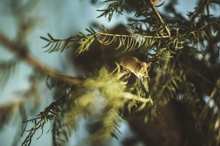 Mouse  camoflaged in pine tree